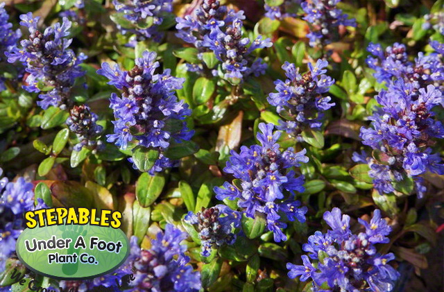 Ajuga reptans Mint Chip Mint Chip Bugleweed