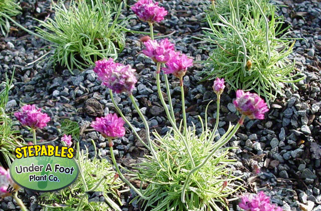 Armeria Nifty Thrifty Variegated Mini Sea Thrift