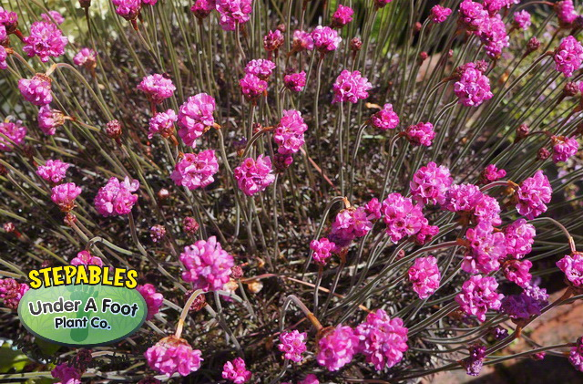 Armeria maritima Rubrifolia Red Leaf Sea Thrift