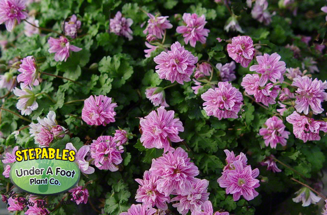 Erodium Flore Pleno Double Alpine Geranium
