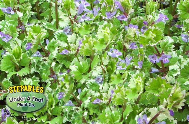 Glechoma hederacea Variegated Ground Ivy