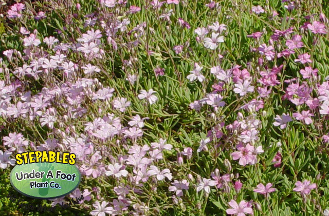 Gypsophila repens Rosea Pink Creeping Babys Breath