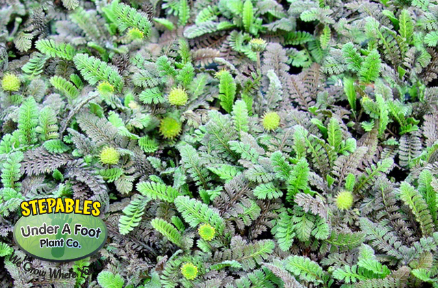 Leptinella squalida New Zealand Brass Buttons