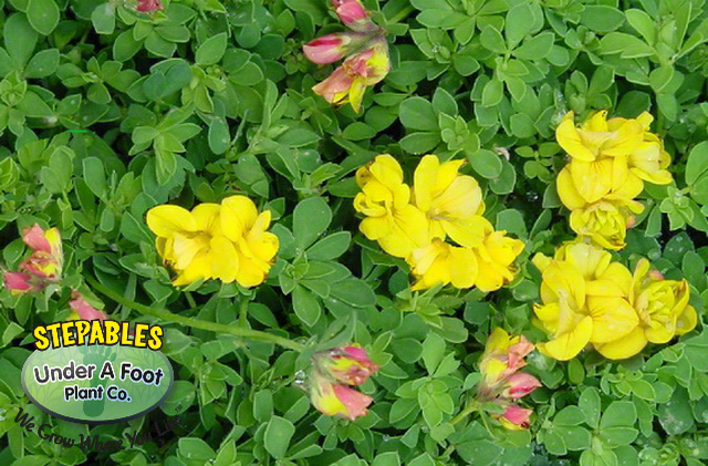 Lotus Plenus Double Birds Foot Trefoil