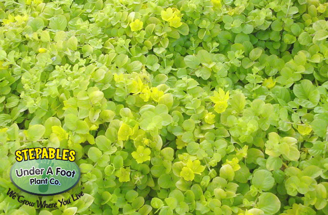 Lysimachia Golden Creeping Jenny-Moneywort