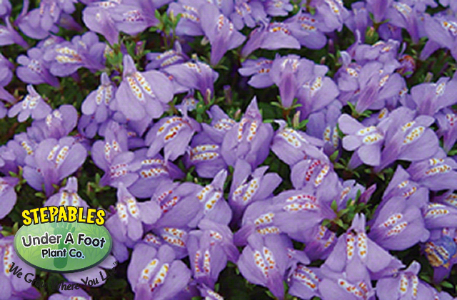 Mazus reptans Purple