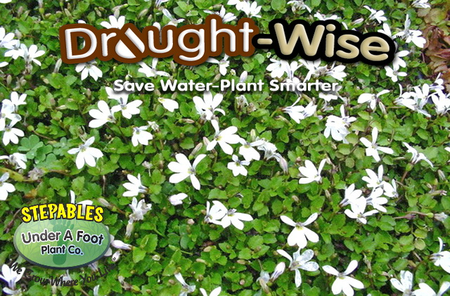 Stepables plants that tolerate foot traffic pratia angulata white star creeper mightylinksfo