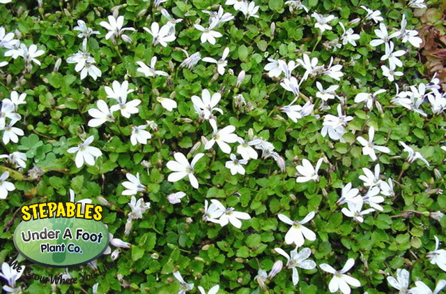 Pratia angulata White Star Creeper