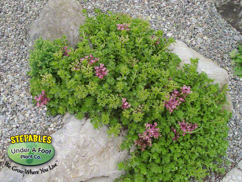 Sedum spurium John Creech Stonecrop