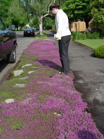 Thymus Red Creeping Thyme