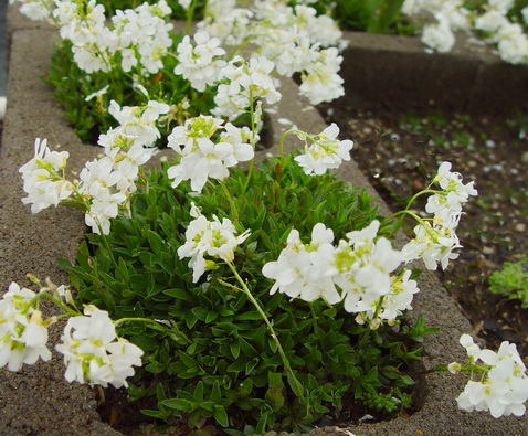 Arabis sturrii Mountain Rockcress
