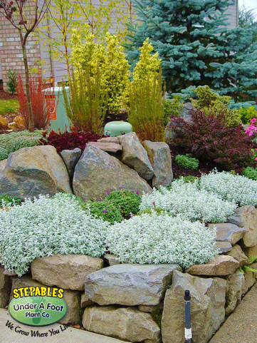 stepables com   plants that tolerate foot traffic
