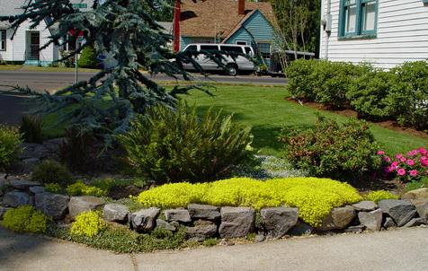 Sedum Acre Sedum Acre Gold Moss Stonecrop