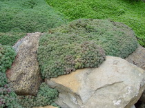 Sedum hispanicum Blue Carpet Purple Form