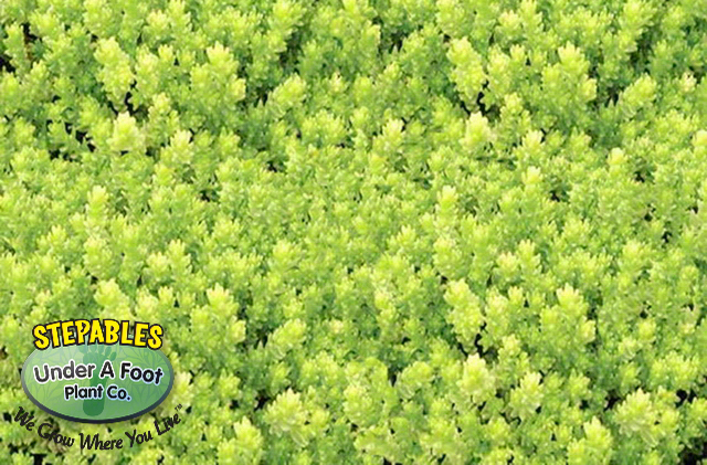Sedum acre 'Aureum' Golden Sunrise Stonecrop