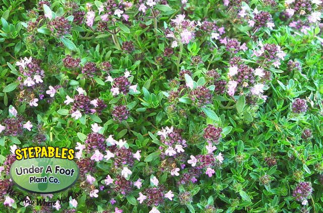 Thymus serpyllum Magic Carpet Thyme