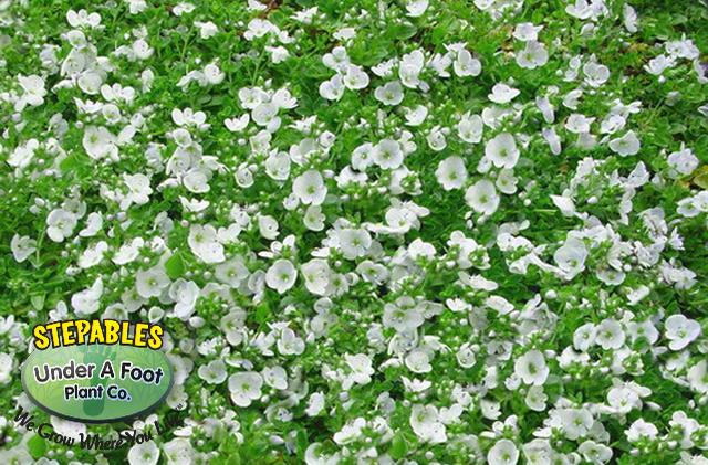 STEPABLESCOM Plants That Tolerate Foot Traffic