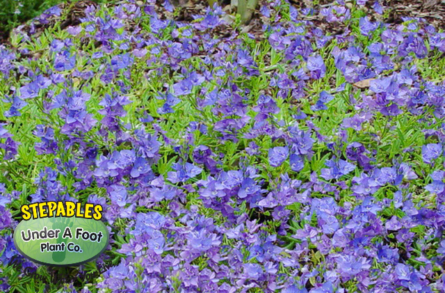 Veronica rupestris Heavenly Blue