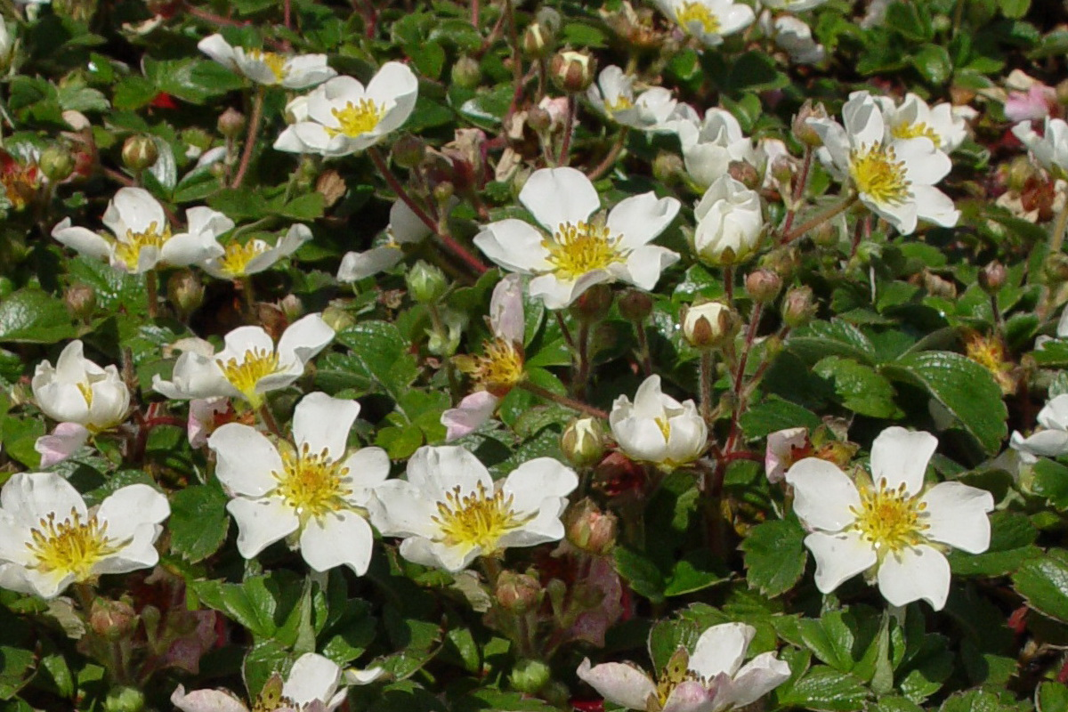 Fragaria chiloensis Ornamental Strawberry
