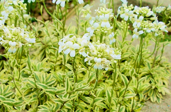 Arabis Old Gold Rockcress