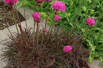Armeria Rubrifolia Red Leaf Sea Thrift