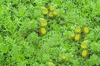 Artemesia Tiny Green Miniature Wormwood