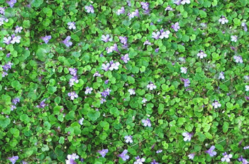 Cymbalaria Mini Kenilworth Ivy