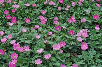 Pink Daisy Fleabane