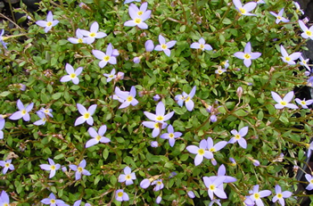 Houstonia Bluets