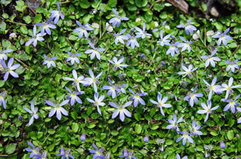 Pratia pendunculata Little Star Creeper