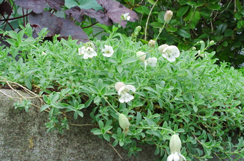 Silene maritima 'Compacta' Double Bladder Campion