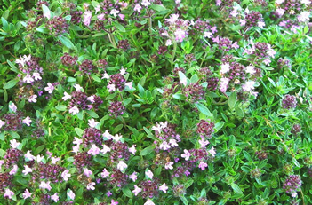 Thymus Magic Carpet Thyme
