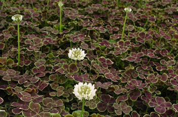 Trifolium repens Bronze Dutch Clover
