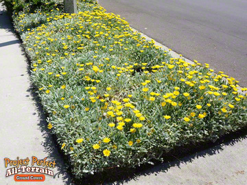 All Terrain Gazania Curbside2016340