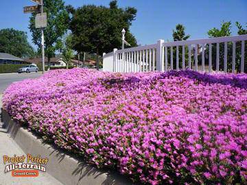 All Terrain Iceplant Ground Cover2016401