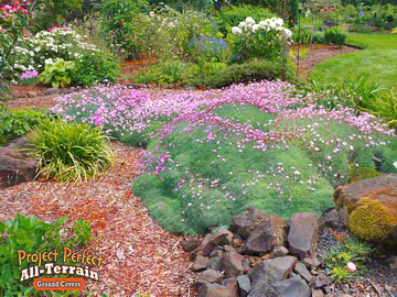 Dianthus All Terian Groundcover20163606