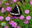 STEPABLES Dianthus Petite with Butterfly