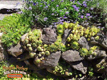 Hens n Chicks All Terrain Groundcover Crevice2016409