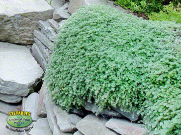 STEPABLES Wooly Thyme over wall201636016