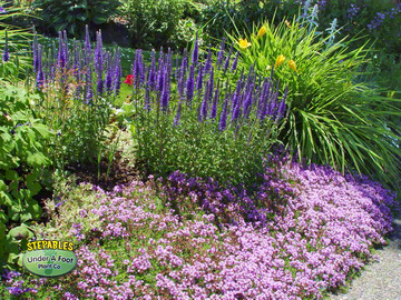 STEPABLES Wooly Thyme with perennials20163604