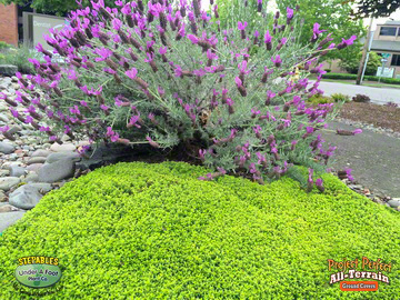 Thymus Archers Gold Fragrant20163592