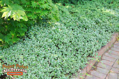 Variegated Periwinkle All Terrain Groundcover201636032